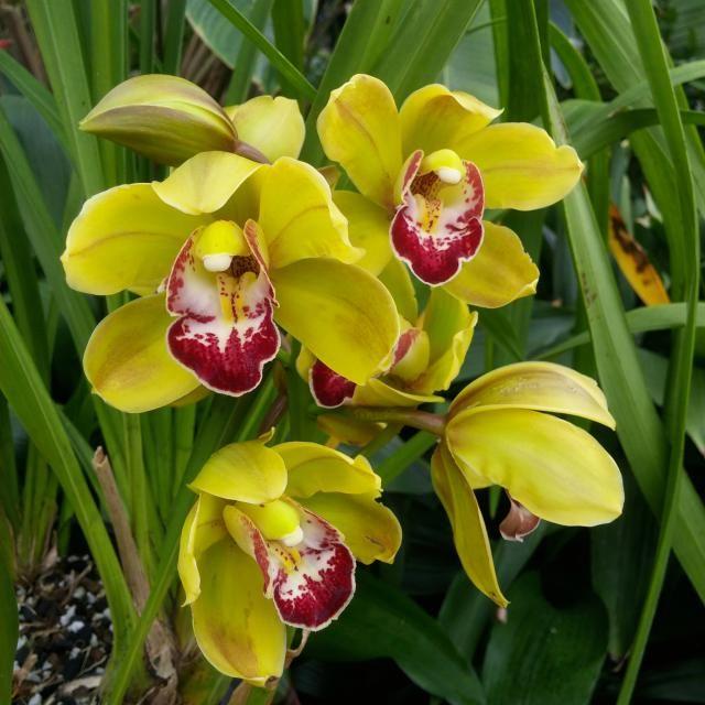 Plantas con flores amarillas para la suerte: Las orqu