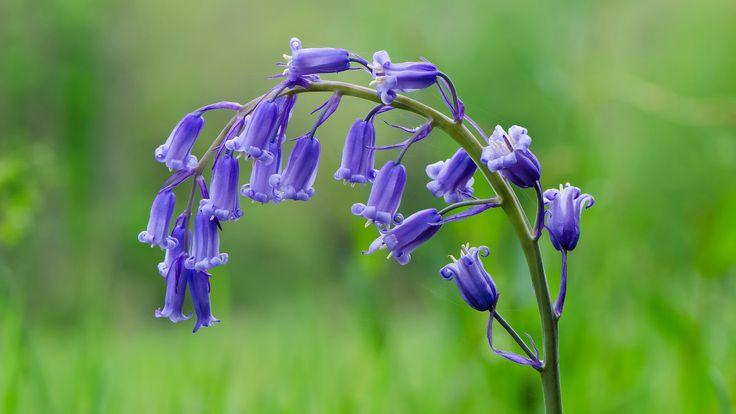 Hyacinthoides non-scripta Flores y Paisajes de Asturias : noviembre 2013