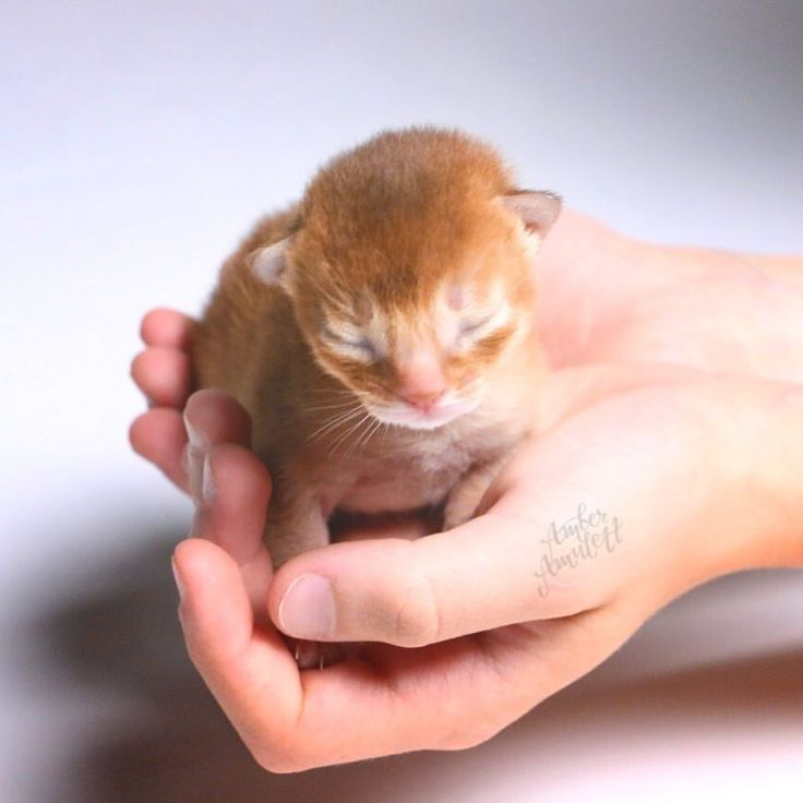 """996 Likes, 29 Comments - AMBERAMULETT Abessinier Katzen (@abyssinian.at) on Instagram: """"Our first 1 week old sorrel boy - Sam - a little #throwback to July 2016. I hope you all are having…"""""""