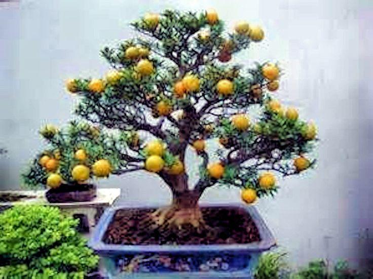 Árbol de bonsai del limón