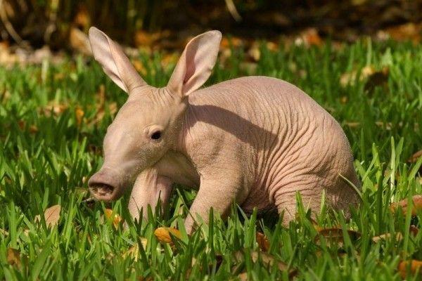 Aardvarken - 15x de schattigste exotische baby dieren  - Nieuws - Lifestyle