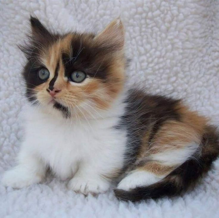 12 best munchkin cats images on pinterest kitty cats midget cat