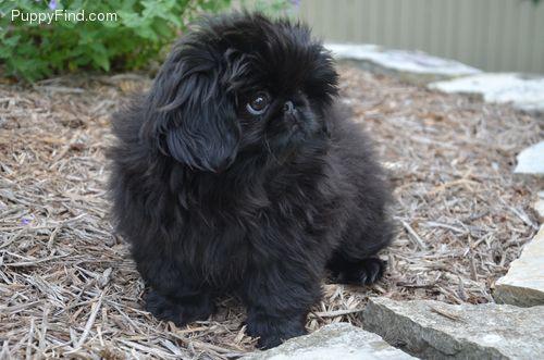 Black Pekingese... too fricking cute!!!! I want him!!!!