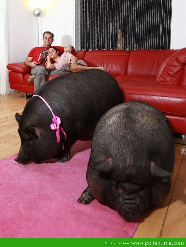 Couple share home with 17-stone Vietnamese pot-bellied pigs – and they even hog the sofa!