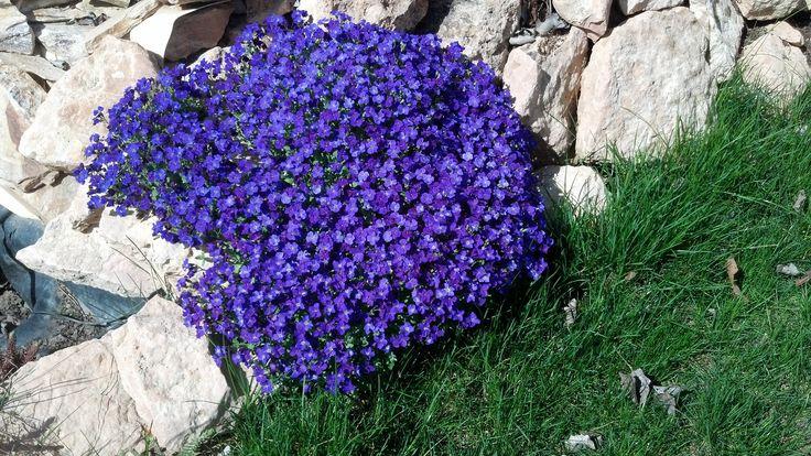 Aubretia azul. Planta perenne muy fácil de cuidar. Resiste las heladas. Necesita pleno sol para florecer. Florece en primavera. Podar a ras de suelo después de la floración.