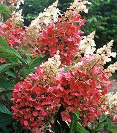 Peniculota Hydrangea - Littleflowers Farm