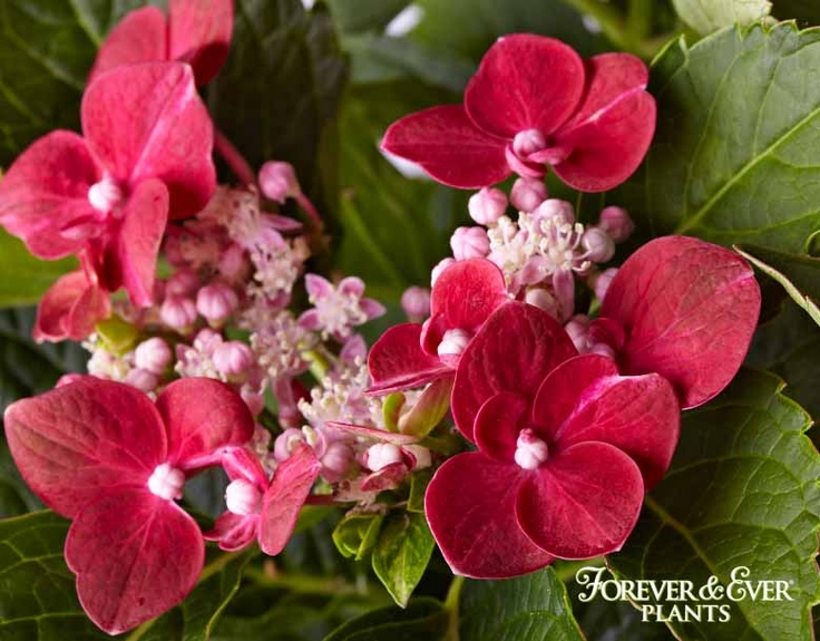 Forever & Ever Red Hydrangea-Starts flowering with a Lacecap look.