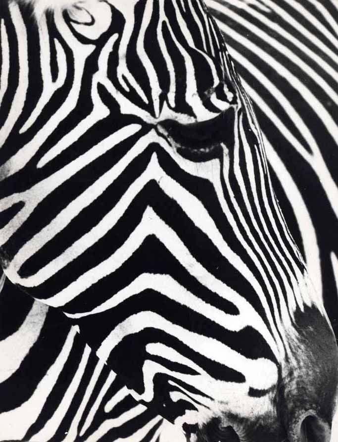 Gros plan d'une tête de zèbre  photo by Emile Vecsler, 1960