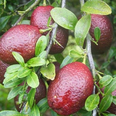 Australian Blood Limes