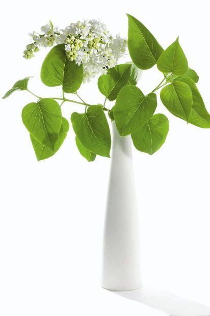 Inwazja bzu. Bez krzewów upojnie pachnącego bzu (czyli lilaka) nie wyobrażamy sobie maja. Bez gałązek delikatnego białego bzu, oferowanego przez kwiaciarnie, coraz częściej nie wyobrażamy sobie zimowych miesięcy.