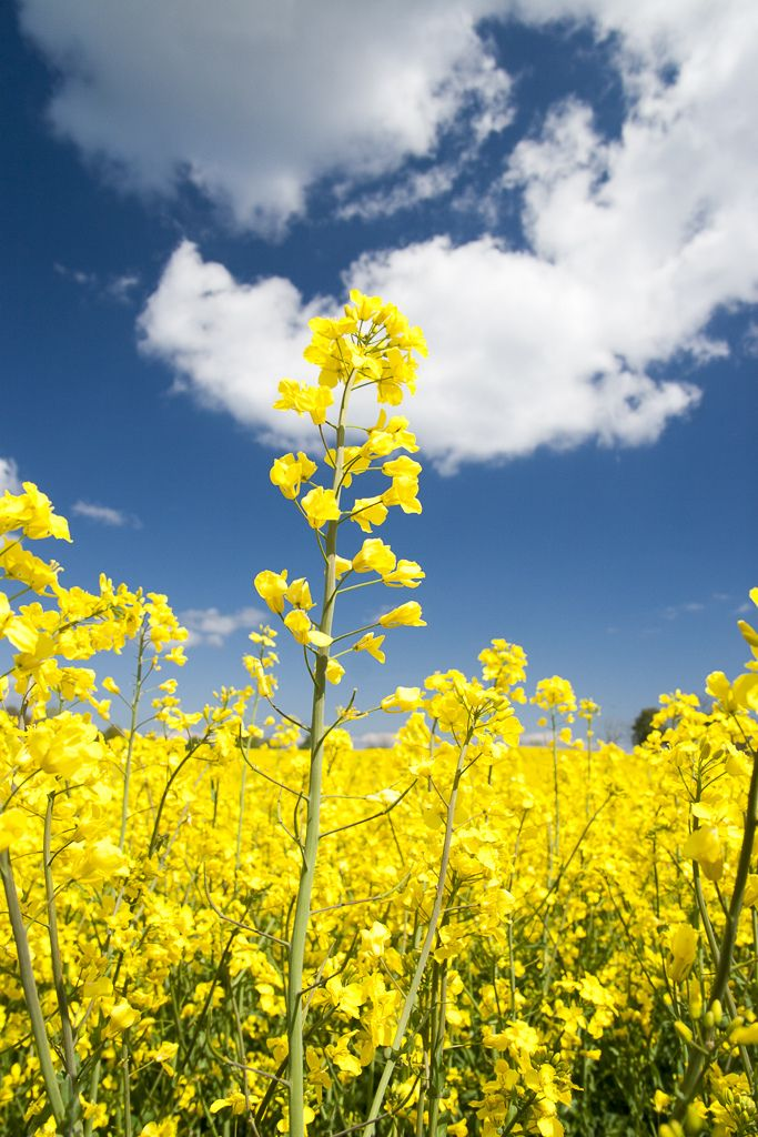 Rapeseed with blue sky in Österlen, Skåne, Sweden. These make the most amazing fields. And when you roll down your car window as you pass by, it smells like honey.