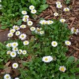 English Daisy Seeds (Bellis perennis)