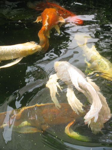557 best images about koi fish on pinterest japanese koi for Types of fish that live in ponds