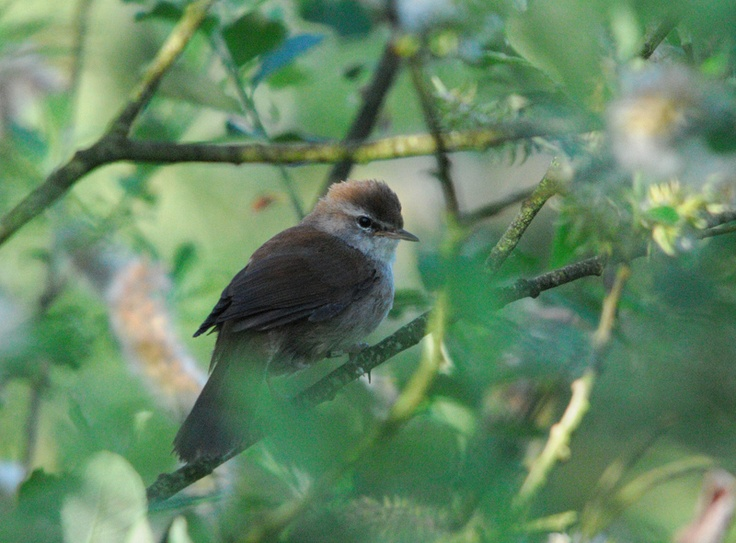 Bird ID Check - Cley Marshes  Cetti's Warbler