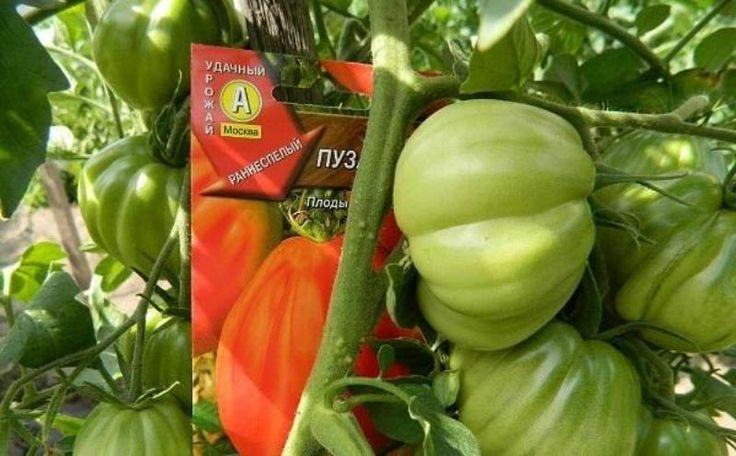 Томат Пузата хата (50 фото): какая урожайность сорта помидор, отзывы, описание, видео