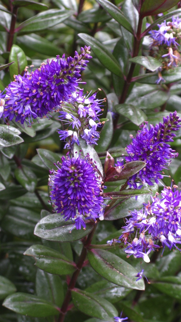 205 best images about plant identification on pinterest for Purple flowering shrubs identification