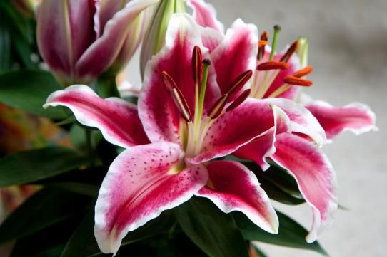 Hana Bay Flowers - Lilies and Lily Care