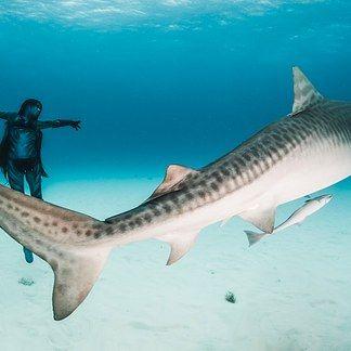 Fotos incríveis de uma mulher dançando com perigosos tubarões-tigre