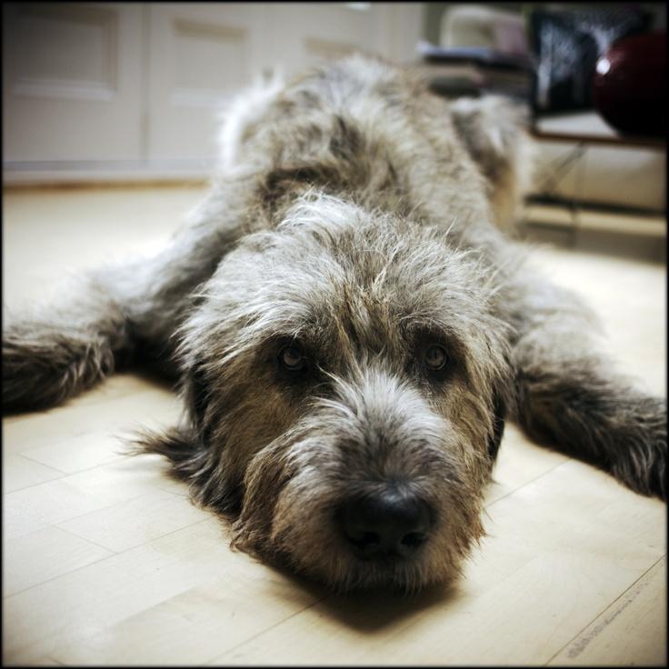 397 besten griffon Bilder auf Pinterest   Hunde, Lurcher und Hund katze