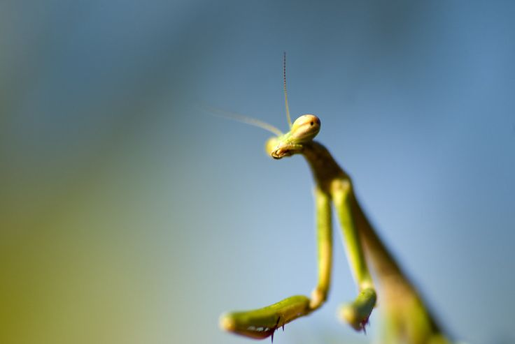 133 best images about praying mantis on pinterest public for 1 800 536 1584