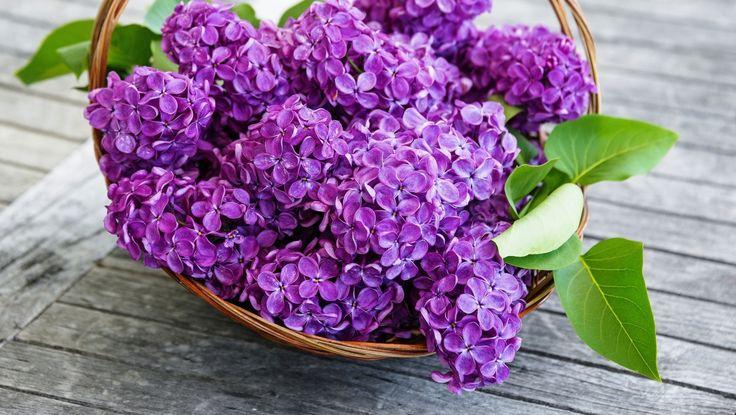 Poze cu Flori de Liliac – PozeQ