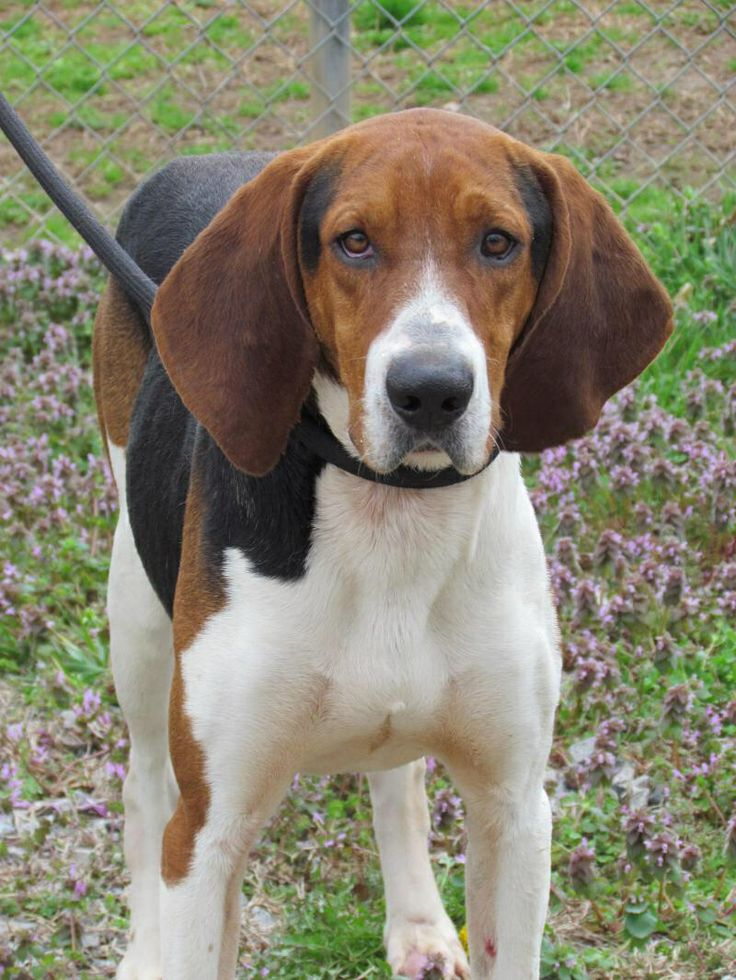 Bloodhound Treeing Walker Coonhound mix M 1 year 60 lbs. named Buffalo Bill in Richmond, VA @ Southside SPCA