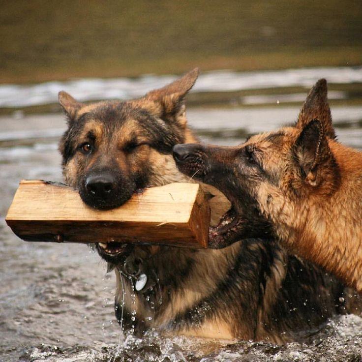 17 best images about german shepherd love on pinterest beautiful dogs german shepherd puppies. Black Bedroom Furniture Sets. Home Design Ideas