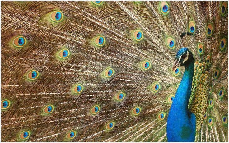 Best 25+ Peacock Wallpaper Ideas On Pinterest