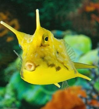 17 best images about cow fish on pinterest horns nature for Live saltwater fish