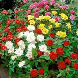https://domicad.com.ua/ - Суперпредложение! Комплект роз флорибунда Цветной микс из 5-ти саженцев