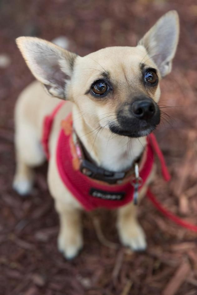 ChaCha!!! <3 <3 <3 • Chihuahua & Terrier X • Young • Female • Small. Jakes Wish Dog Resc; San Jose, CA. I was a stray & my foster mom found me & has been getting me ready for my new life. I live w/ Dogs & Kids & CATS!! I walk nicely on leash & am potty trained. I love to give kisses & play w/ the other Dogs. Check out my teeth brushing video!
