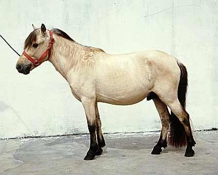 A sumba pony!