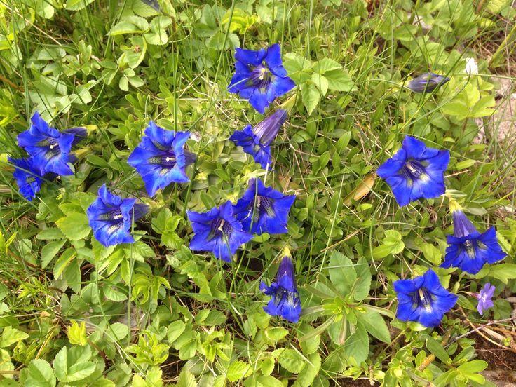enzian im alpengarten blumen im garten flowers pinterest enzian blumen und g rten. Black Bedroom Furniture Sets. Home Design Ideas
