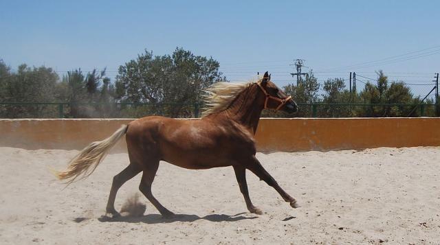 Hispano-lusitano, castrado  https://www.equirodi.es/anuncios/caballos-en-venta/caballos-ibericos.htm  Hispano-Lusitano, castrado          Nombre: MAKI Nacido: 2008     Alzada: 152 cm. a la cruz    Precio: 1800 euros