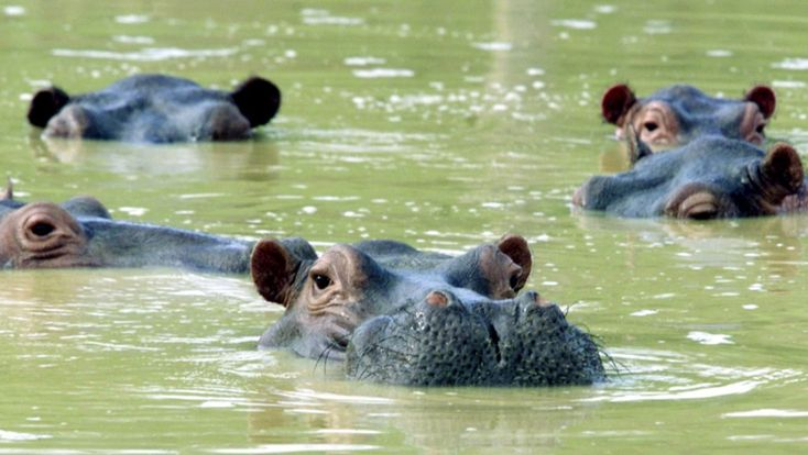 "Pablo Escobar was many things, a Colombian drug lord, a politician and, more surprisingly, a zoo keeper. Most of his menagerie has been ""rehomed"" — but the hippos remain. And that's a problem."