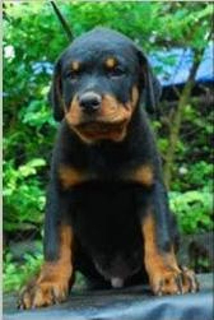 colorful pictures of rotties | Rottweiler For Sale | poopy | Kannur| INDIA | MANURAJ KR | Dogs ...