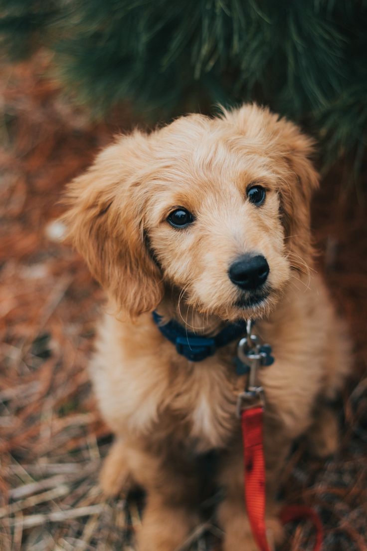 Golden retriever feeding tips to stay healthy in 2020
