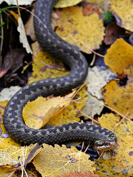 List of venomous snakes.  All snakes will attack if they feel threatened or surprised, but only a handful are actually venomous. In any case, treat every bite seriously while you are backpacking or hiking. This list includes the:    Rattlesnake  Cobra  Copperhead  Coral snake  Cottonmouth Water Moccasin