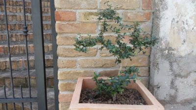Potted Olive Tree Care: Tips On Growing Olive Trees In Containers If you don't have enough space for a full tree, or if your climate is too cold, you can still have olive trees, as long as you grow them in containers. Click the following article to learn more about potted olive tree care and how to grow an olive tree in a pot.