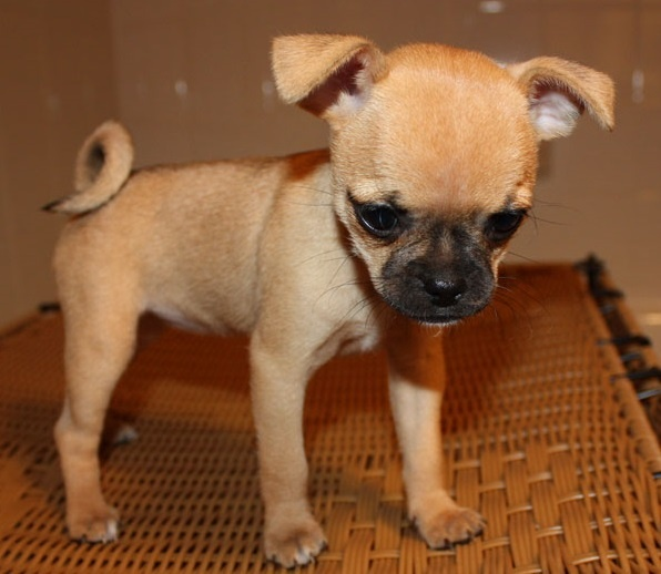 pug mixed with chihuahua best 25 pug mixed breeds ideas on pinterest pug mix 8230