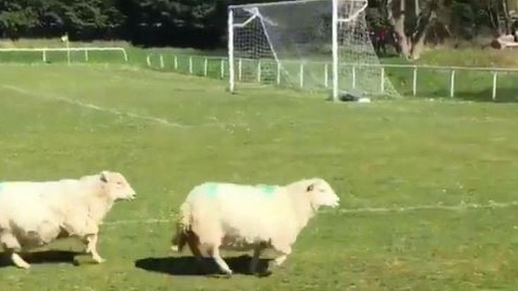 Welsh Alliance League #Match Invaded By #Sheep. #WelshAlliance #soccermatch #animalsinsoccer #socceranimals #soccer