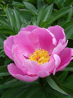 """""""Paeonia lactiflora, manchmal Milchweiße Pfingstrose[1] oder Chinesische Pfingstrose genannt, ist eine Pflanzenart innerhalb der Familie Pfingstrosengewächse (Paeoniaceae). Beheimatet ist sie in Zentral- und Ostasien, von Südsibirien, Mongolei, Tibet über Nordchina bis in den Russischen Fernen Osten, sowie Korea. Sie wird mit vielen Sorten, auch Edel-Pfingstrose genannt, als Zierpflanze verwendet.[2]""""  Wildform der Paeonia lactiflora"""
