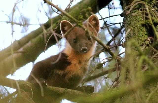 GREAT HUNTING: Kuna lesní. Jak vyhnat kunu z chalupy?