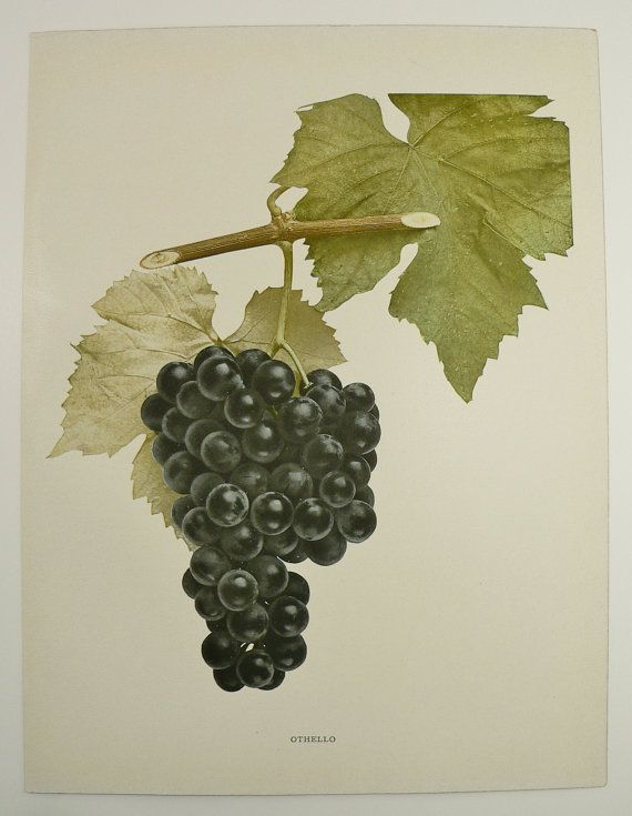 Othello 1908 antique print of grapes of new york old color fruit botanical authentic old grape