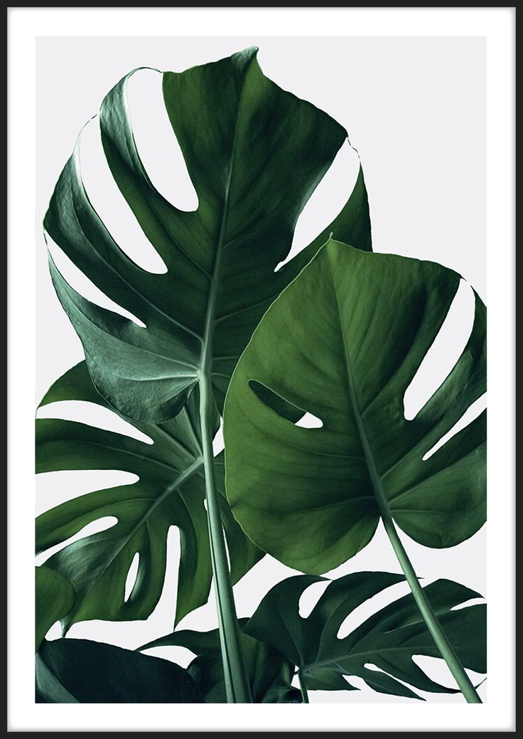 Monstera, från Insplendor tryckta med Giclée Fine Art Print-teknik