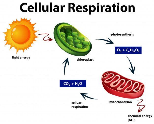 Diagram Showing Cellular Respiration Free Vector Freepik Freevect In 2021 Cellular Respiration Cellular Respiration Biology Photosynthesis And Cellular Respiration