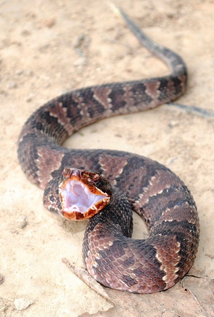 Cottonmouth | Animals | Pinterest