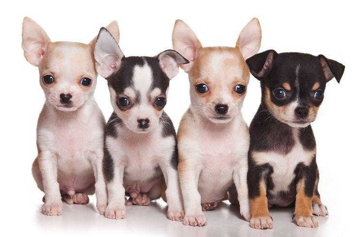 CANI - Chihuahua storia FbSocialPet