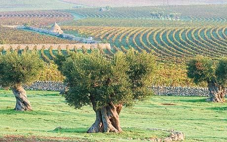 Fernando Caruncho gardens: repeated islands of olive trees punctuate wavelike rows of vines in this estate in Puglia, Italy