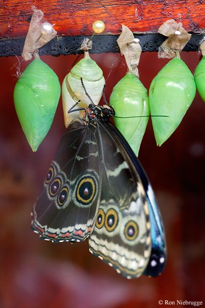 A Blue Morpho butterfly ( Morpho peleides) emerges from the Chrysalis or Pupa in the Butterfly Observatory at La Paz Waterfall Gardens, costa Rica.